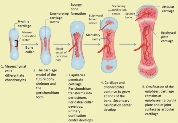 The-process-of-bone-growth